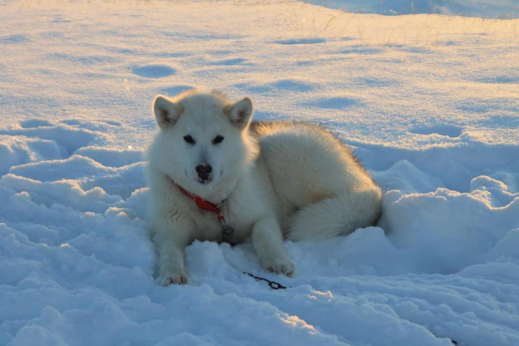 Grønlandsk slædehund