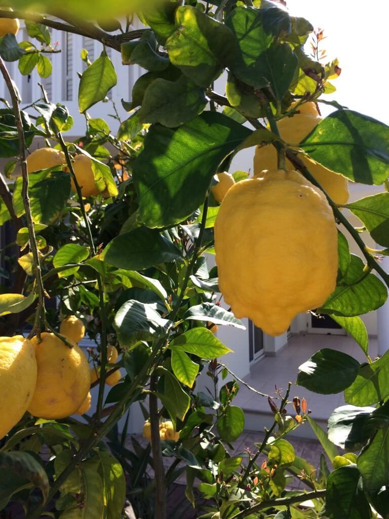Cypern citroner